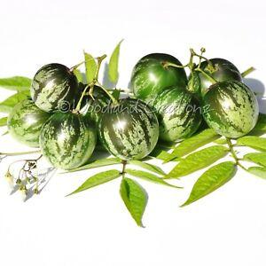 Tzimbalo Melon Pear Seeds Rare Unusual Edible Fruit Solanum Caripense USA