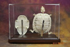 real Red-eared slider skeleton turtle skeeton taxidermy good specimen home decor