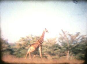 Vintage 8mm Amateur Cine Film Africa? Safari Wild Animals Giraffe Cheetah