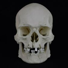 HUMAN MALE ADULT SKULL REPLICA (TOOTHLESS)
