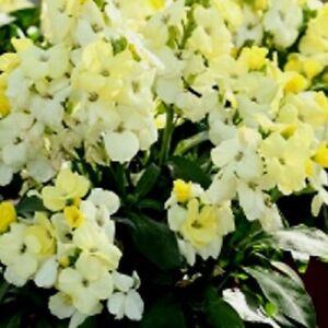 6x  PLUG PLANT CHEIRANTHUS IVORY WHITE ENGLISH WALLFLOWER HIGHLY FRAGRANT HARDY
