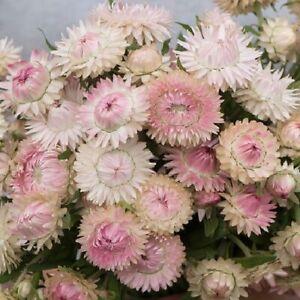 Helichrysum or Xerochrysum bracteatum 'Silvery Rose' / Everlastings / 500 Seeds