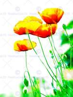 FLOWER POPPIES POPPY GREEN YELLOW PHOTO ART PRINT POSTER PICTURE BMP1952B