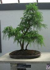 100 Japanese Incense Cedar (Cryptomeria japonica) Red Sugi Bonsai Tree Seeds Wss