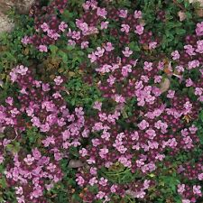 Herb - Thyme Purple Creeping - 1500 Seeds