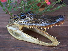 "BIG 5"" GENUINE ALLIGATOR HEAD SKULL TAXIDERMY REAL TEETH JAW REPTILE SWAMP GATOR"