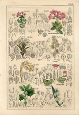 1842 AZALEA OLIVE RHODODENDRON ROSE WILD ROSEMARY Hand/Colored Print Petermann