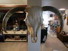 Beautiful Steer Horns Skull Bull Cow Longhorn