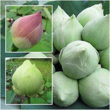 Lotus Flower 20 Seeds, Sacred Lotus, Nelumbo nucifera, Aquatic Plants Beautiful