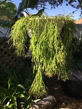 Rhipsalis Clavata —- Starter Plant