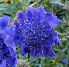 35+ DEEP BLUE PINCUSHION SCABIOSA FLOWER SEEDS / PERENNIAL