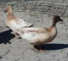 Buff Duck Fertile Hatching Eggs