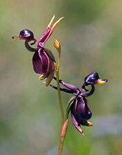 10Pcs Rare New Duck Flying Orchid Flower Seeds Flower Seeds Home Decor BG096