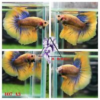 [407_A3]Live Betta Fish High Quality Male Fancy Over Halfmoon 📸Video Included📸