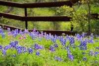 Texas Bluebonnets in a Fenced Field Pasture Photo Art Print Poster 24x36 inch
