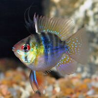 Angel Ram Cichlid (Balloon Belly Ram) Mikrogeophagus ramirezi - Live Freshwater