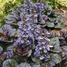 "7 HARDY Bugleweed 2-4"" wide LIVE grnd cvr flower +3 FREE SAMPLE PLANT"