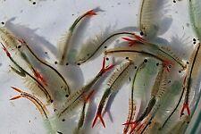 fresh water shrimp eggs & spirulina