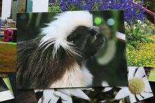 Cotton Top Tamarin Postcard x1