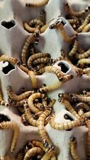 1.5-2+ Inch Large Live Superworms-Free Same Day Shipping-Live Guarantee 100-500