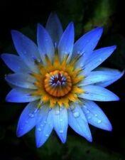 Rare Sacred Blue Lotus(Nelumbo Nucifera) Flower8 Seeds, Good Germination,
