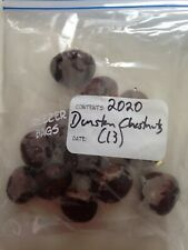 13 Stratified and starting to sprout Dunstan Chestnut Seed Bakers Dozen