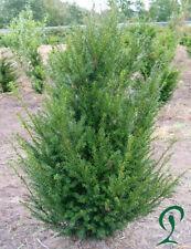 Eibe Taxus Baccata 80-100 cm Höhe. Eibenhecke, Anlieferung möglich.