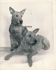 WELSH TERRIERS - Photo c. 1950 Chien Grand Format - ch2