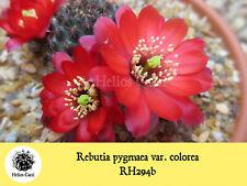 Cactus Seeds - Rebutia pygmaea var. colorea RH294b