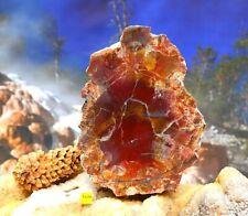 More details for petrified fossilised wood slice - huge arizona rainbow prehistoric tree 1462g