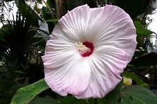 6 graines KETMIE DES MARAIS BLANCHE(Hibiscus Moscheutos LUNA WHITE )G38 SEEDS
