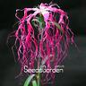100 Pcs Seeds Dianthus Spooky Mix Flower Bonsai Potted Flowers Home Garden Plant