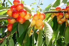 Cherry Tree Seeds - RANIER - Sweet Golden Cherry with Pink Blush - 10 Seeds