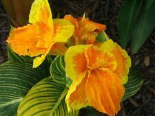 1 Dwarf Green/Gold Leaf Tropicana Gold Canna Rhizome-3-5+ Eyes - Immediate Ship!