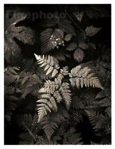 1949 Original ANSEL ADAMS Forest Fern Mount Rainier Landscape Photo Art 12X16