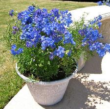 CHINESE DELPHINIUM 'Blue Butterfly' 100+ seeds flower garden perennial mini cold