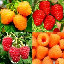 Quarteto - 4 x classical Red and everbearing Yellow raspberry plants Free Shipp