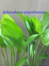 Exotic Live Aquatic Plant Echinodorus argentinensis Bundle B045 (Refer * *)