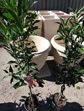 Citrus Trees Mandarin Imperial/Emperor Varieties  both approx 1m hgt $29-50 ea