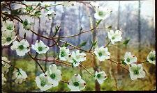 1941 Postcard Cornus Florida Flowering Dogwood Flowers