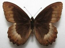 Hipparchia fagi male from Croatia (mounted)