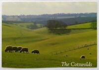 The Cotswolds Sheep Postcard (P265)