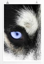 60x90cm Tierfotografie – Nahaufnahme blauer Huskyaugen