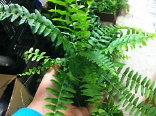 "BOSTON FERN - ORIGINAL - 4"" POTTED PLANT - LIVE PLANT - 1 PLANT"