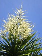 CORDYLINE AUSTRALIS 20 semi Seeds Samen semillas Dracena rare