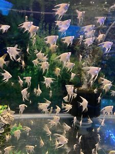 3 Platinum Angelfish - Solid white, pearl scale,  Nickel size