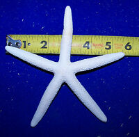"12 BLEACHED WHITE SEA STAR FINGER STARFISH SEASHELL 4""-6"" Item # wsf4-6-12"