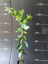 Citrus Trees Tahitian Lime Grafted 5 litre bags approx 1m hgt $28-00 EA