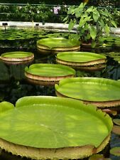 10 seeds Victoria amazonica (Giant Water Lily, Royal Water Lily) rare D581
