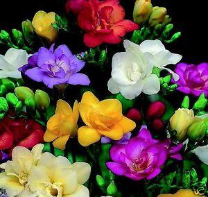 10 x FREESIA MIXED BULBS/CORMS CORN HARDY PERENIAL garden spring flowers PLANTS